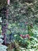 2fawns